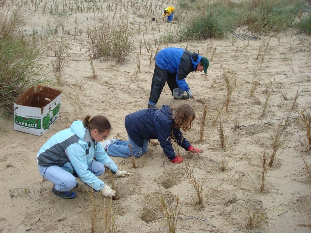 Volunteers planting grasses along dune.